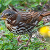 Fox Sparrow, ssp. red fox sparrow