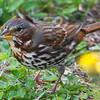 Fox Sparrow, ssp. red fox sparrow