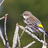 Yellow-rumped Warbler, Myrtle ssp..