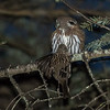 Northern Pygmy-Owl with Golden Crowned Sparrow. Trouble with flash so it was manually focused.