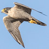 Peregrine Falcon, adult,  Yolo Bypass Wildlife Area. Photographed on October 6, 2015, at 16:56.  Unfortunately, this is the only view and is a 100% crop. Feathers are partially covering the lettering.