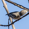 Plumbeous Vireo and prey 2