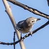 Plumbeous Vireo and prey 1