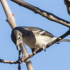 Plumbeous Vireo and prey 3