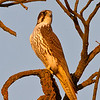 Prairie Falcon near Davis on Rd 26A in Yolo County.  Late afternoon light.