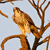 Prairie Falcon found on Rd 26A in eastern Yolo County, near Davis.  The bird was chasing Mourning Doves and Long-billed Curlew.