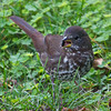 Sooty Fox Sparrow (for comparison)