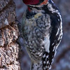 Red-naped Sapsucker, top and back of head