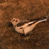 Snow Bunting found by Chuck Vaughn & Steve Stump