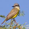 Tropical Kingbird, Davis, Nov. 25, 2010