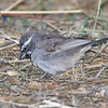 Black-throated Sparrow, Yolo Co Rd 22, Oct 29 2011.
