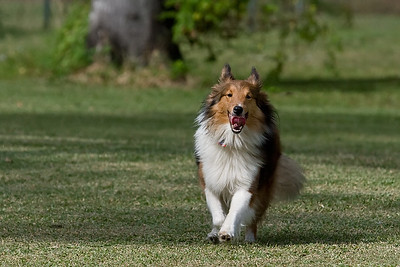 Beautiful sheltie in full stride- Cocoa, Florida 2009