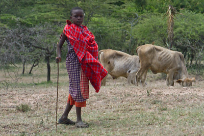 Massai boy herding cattle in the Rift Valley near Nairobi, Kenya. Sept 2011