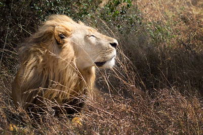 Big male lion basking in the morning sun, 15 feet from me, at the Nairobi Preserve, Kenya 2011.