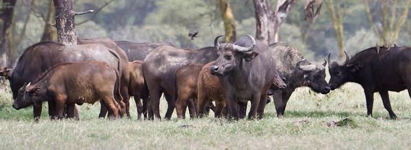 Heard of Cape Buffalo at Lake Nakuru, Kenya 2011.
