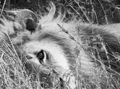 Lion at rest, one eye open in B&W at the Nairobi Preserve, Kenya 2011.