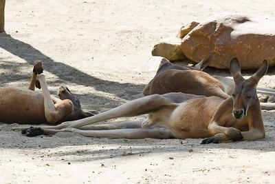 Kangaroos lounging around at the Zoo, Sanford, FL 2010