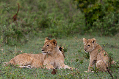 Lion mom and her cub watching for trouble in the Massai Mara, Nairobi Kenya 2011.