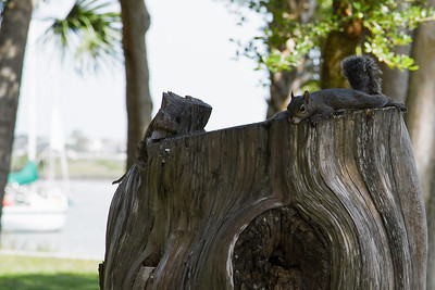Lazy squirrel atop a tree stump in St. Augustine, Florida 2010