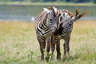 Zebras in love at Lake Nakuru, Kenya 2011.
