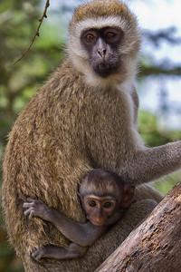 Mother and baby monkey up a tree at Masai Mara, Kenya 2011.