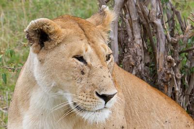 Lion sitting 5 feet away from me at Masai Mara, Kenya 2011.