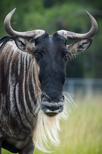 Wildebeest. Lion Country Safari, FL, 2012