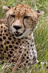 Cheetah close-up at Masai Mara, Kenya 2011.
