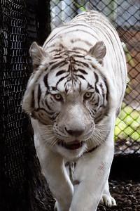 White Tiger at the Big Cat Rescue in Cocoa, Florida 2010