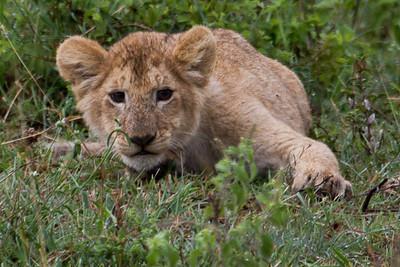 Lion cub playing at Masai Mara, Kenya 2011