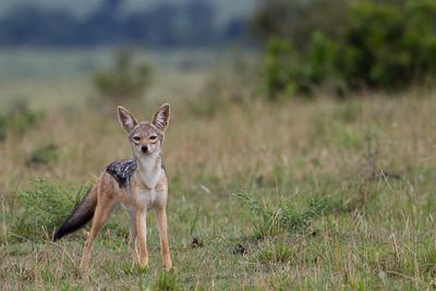 Lone jackal at Masai Mara, Kenya 2011.