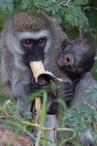 Feeding time for momma monkey at Masai Mara, Kenya 2011.