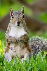 Female squirrel looking puzzled, Altamonte Springs FL 2011