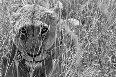 Lioness on the prowl. Nairobi National Park, Kenya, 2012