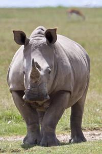 Rhino standoff at Lake Nakuru, Kenya 2011.