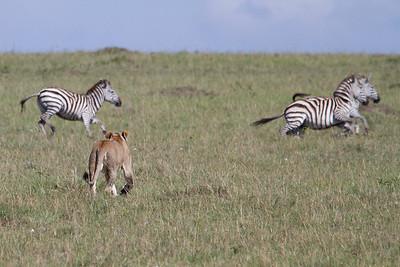 Lion chasing a herd of zebra... no luck today though. Caught at Masai Mara, Kenya 2011.
