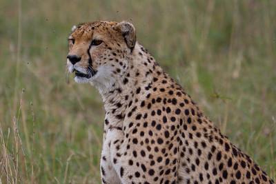 Cheetah five feet away at Masai Mara, Kenya 2011.