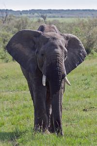 Elephant protecting his territory at Masai Mara, Kenya 2011.
