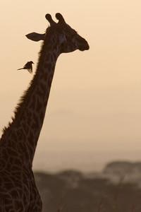 Giraffe at dawn with an Oxpecker ready to land on its neck. Nairobi Kenya, 2012