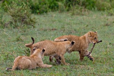 Lion cubs playing like puppies in the Massai Mara near Nairobi Kenya, 2011