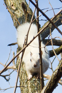 White squirrel scampering in the tree in CT 2011