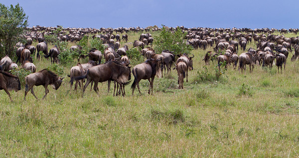 Multiples of thousands of wildebeest! This picture doesn't even come close to capturing the immensity of the heard I saw at Masai Mara, Kenya during the Great Migration 2011.