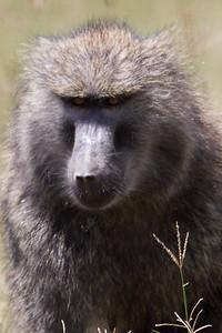 Baboon with an attitude at Lake Nakuru, Kenya 2011.