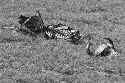 Death comes to every animal, including the huge cape buffalo in the Massai Mara near Nairobi Kenya, 2011