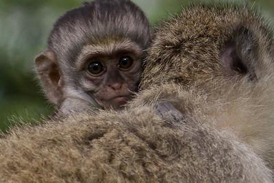 Baby monkey caught riding momma at Masai Mara, Kenya 2011