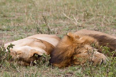 Lion and his mate taking a nap in the Massai Mara near Nairobi Kenya, 2011