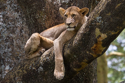Female lion hanging out in the tree at Lake Nakuru, Kenya 2011.