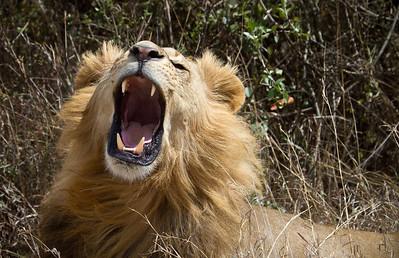 Lion roaring 15 feet from me at the Nairobi Preserve, Kenya 2011.