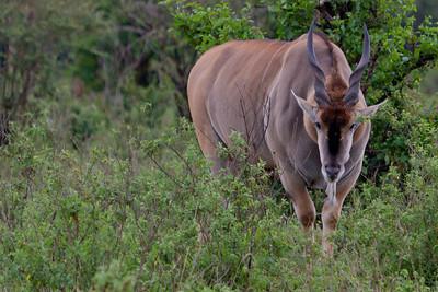 The biggest Antelope, the Eland can weigh up to a ton. Seen at Masai Mara, Kenya 2011.