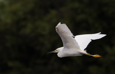 Egret in flight at Cranes Roost, Altamonte Springs, FL.